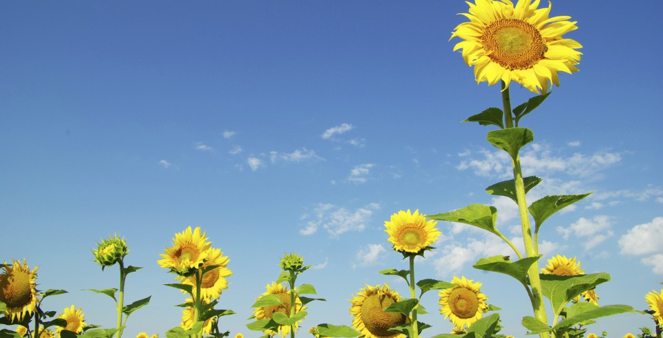 cropped-sunflowers3