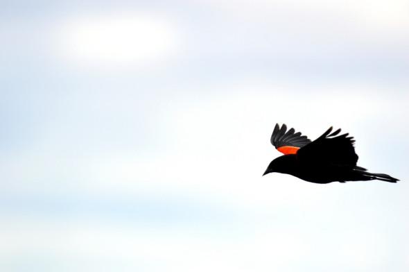 redwinged-blackbird